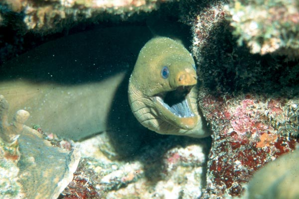 A green Moray shows us His territory