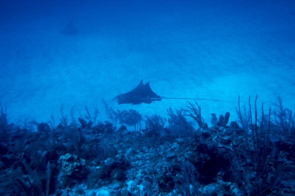 Two Eagle Rays cruise for food